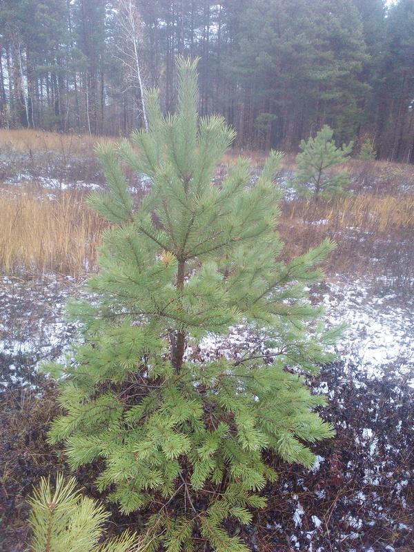 Предлагаем большой выбор живых зелёных новогодних елок сосен
