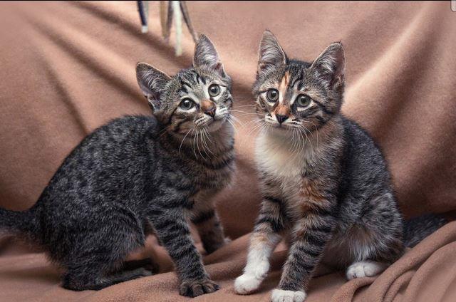 Василий и Василиса, красивущие домашние котята в добрые руки