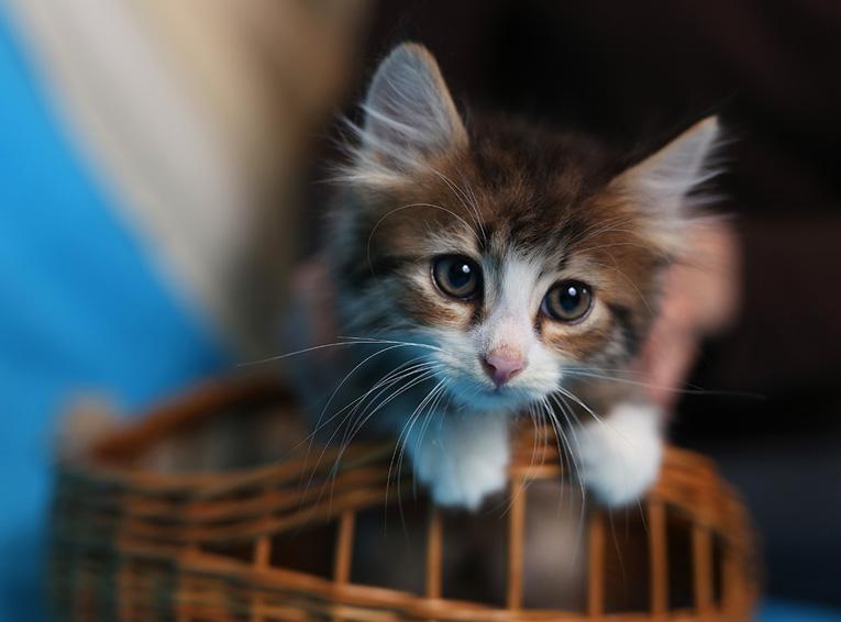 Красивые и умные котята в дар. 2 котика и кошечка