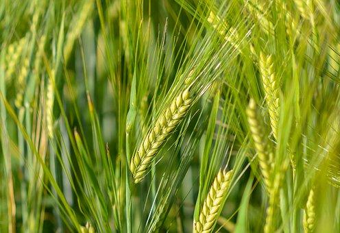 Семена Озимой пшеницы Таня