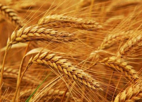 Семена озимой пшеницы урожая 2017