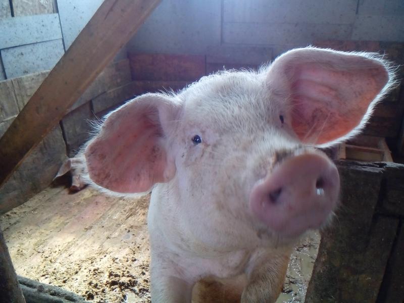 Продам деревенскую свинину
