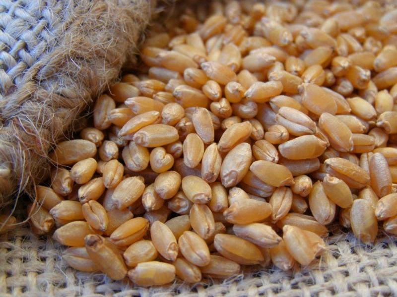 Семена яровой пшеницы Стан