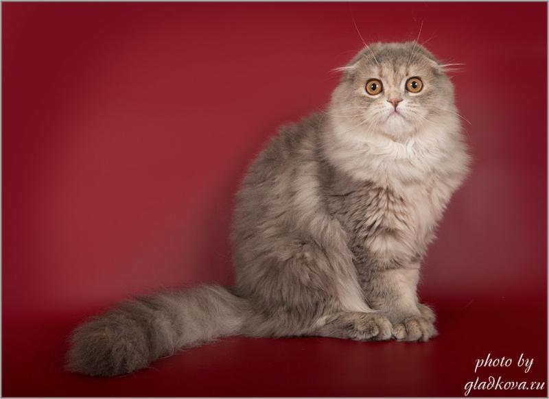 Невероятно красивые котята шотландской породы