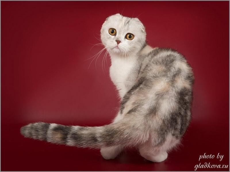 Шотландские котята в шлковых шерстинках