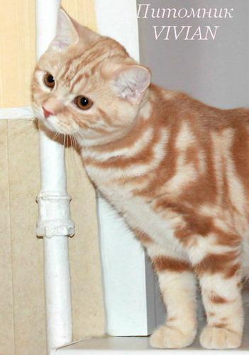 Британские рыжие котята из питомнка.