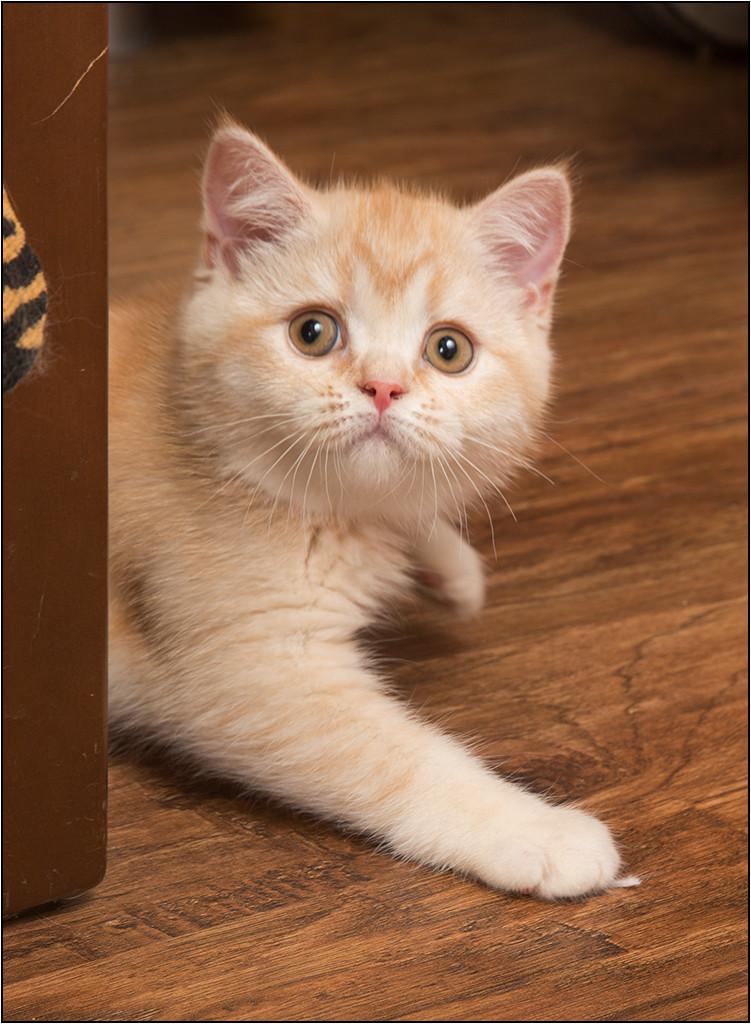 Мягкие шотландские котята из питомника