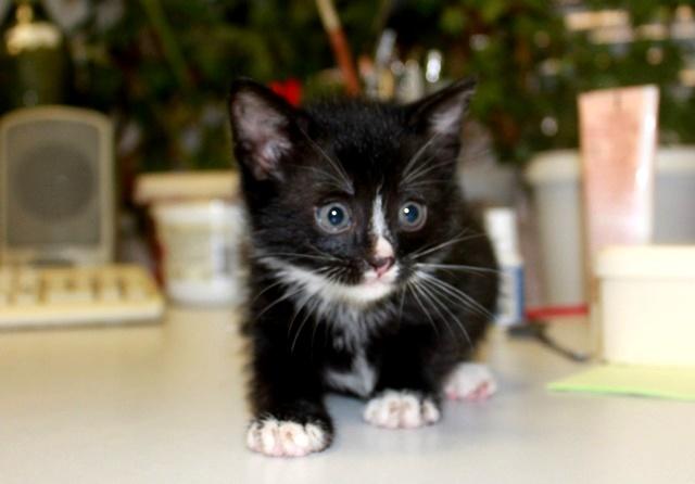 Тиша и Кеша, домашние котята, ласковые крошки в добрые руки