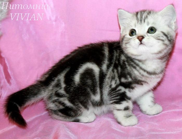 Британские клубные котята висакс.