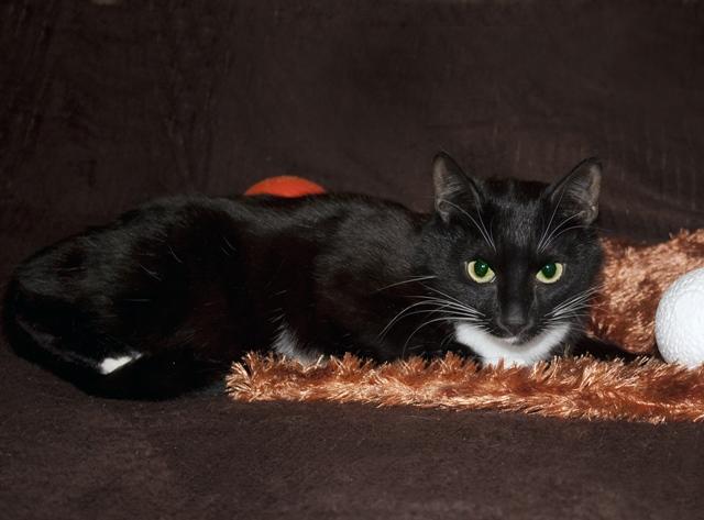 Добрейший домовенок, молодой маркизный котик Доцент в добрые руки