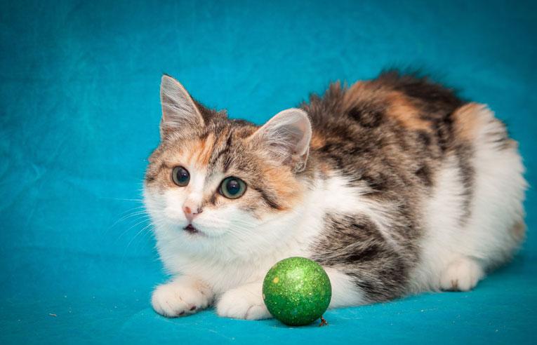 Котнок с небесно-голубыми глазами в дар