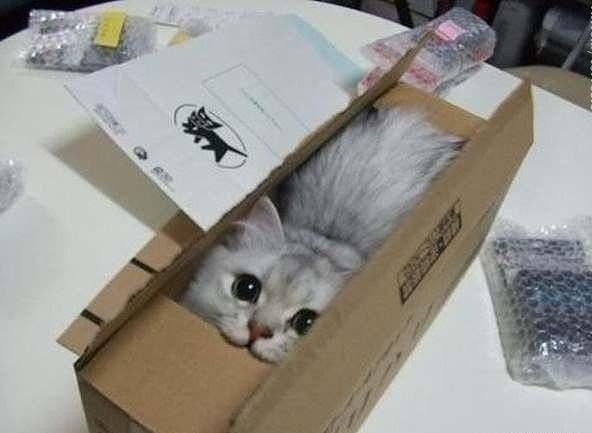 Лучший ваш подарочек - это шотландский котнок