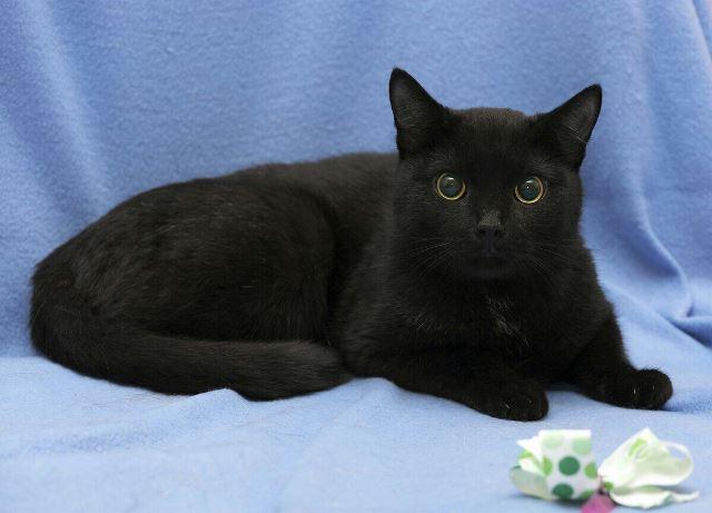 Добрый, нежный  трепетный молодой черный котик Герд в добрые руки