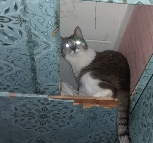 Молодая кошечка Мурка живет на антресолях Срочно нужен дом