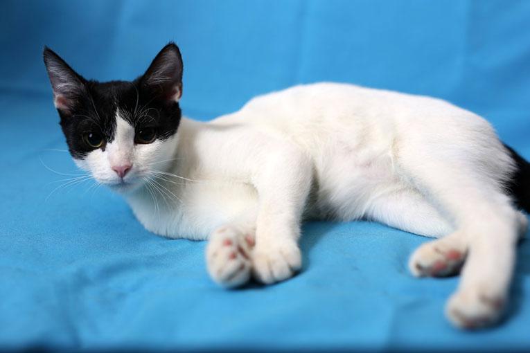 Ласковый котенок-подросток Белочка в дар