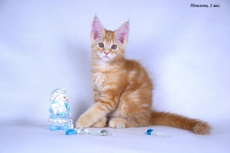 Мейн-кун - крупные красивые котята