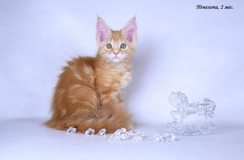 Мейн-кун котята XXL