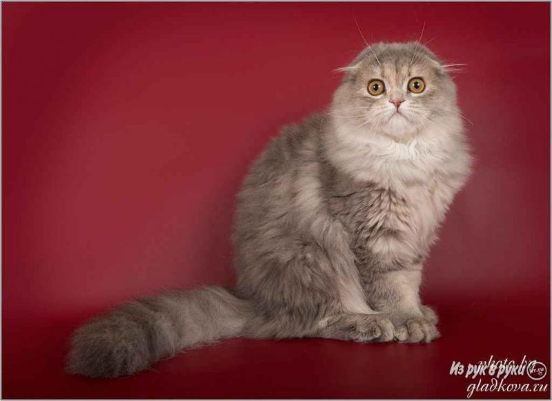 Грациозные шотландские котята
