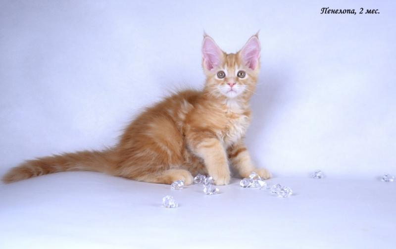 Мейн-кун котята от Чемпионов