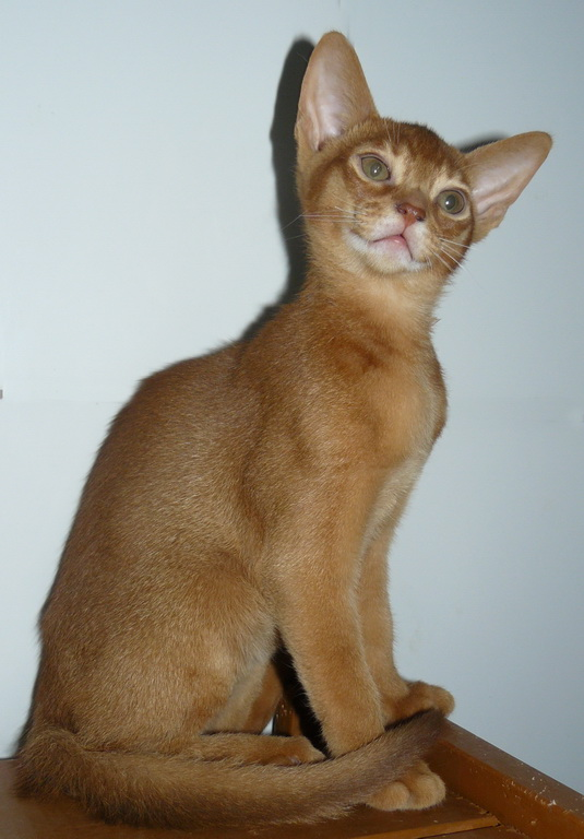 абиссинский котик 4 мес