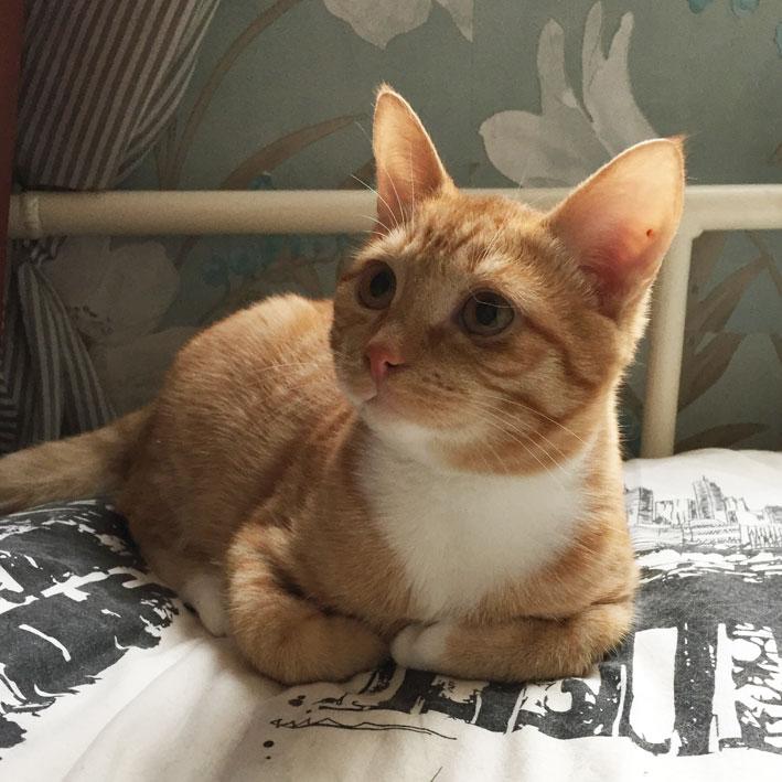 Крупный рыжий котнок-подросток Ясик в дар