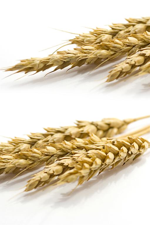 Семена яровой пшеницы и ячменя