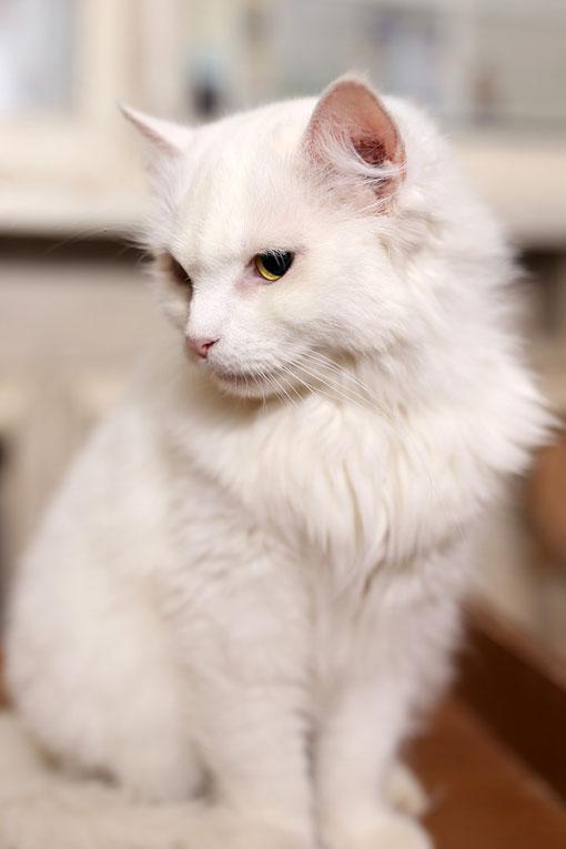 Царственная кошка Белла ищет дом