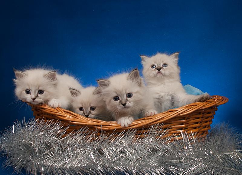 Невские маскарадные котята-счастье в дом