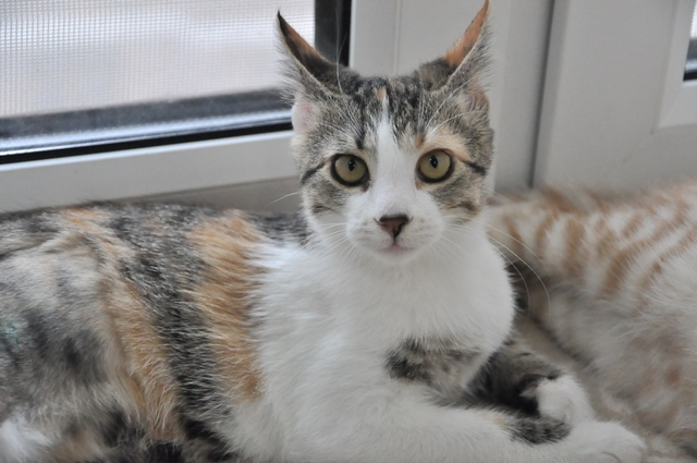 Глазастое чудо Тося, молодая домашняя кошечка в добрые руки