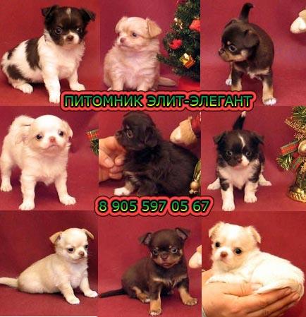Продаю щенков мини чихуахуа, уникальное предложение