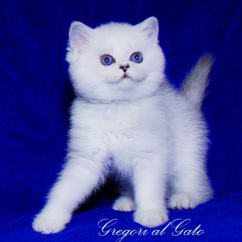 Британские шиншиллы котята с голубыми и фиалковыми глазками