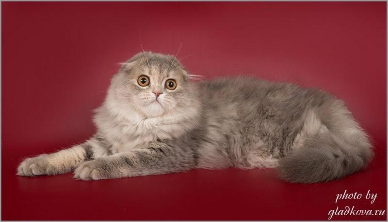 Чудесные котята шотландской породы