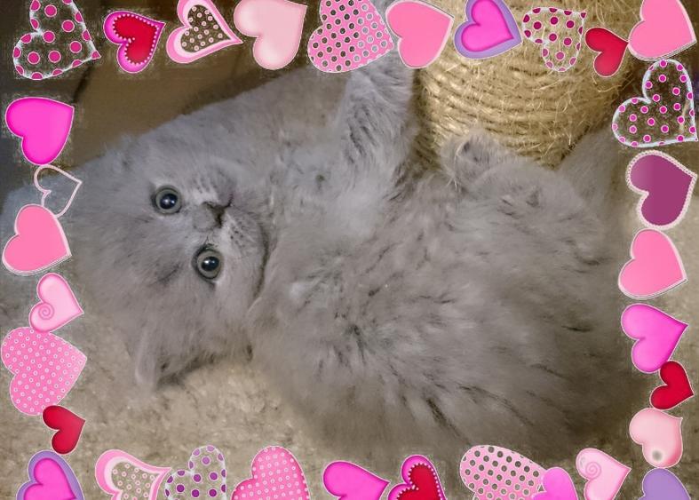 пушистые котята британской длинношерстной