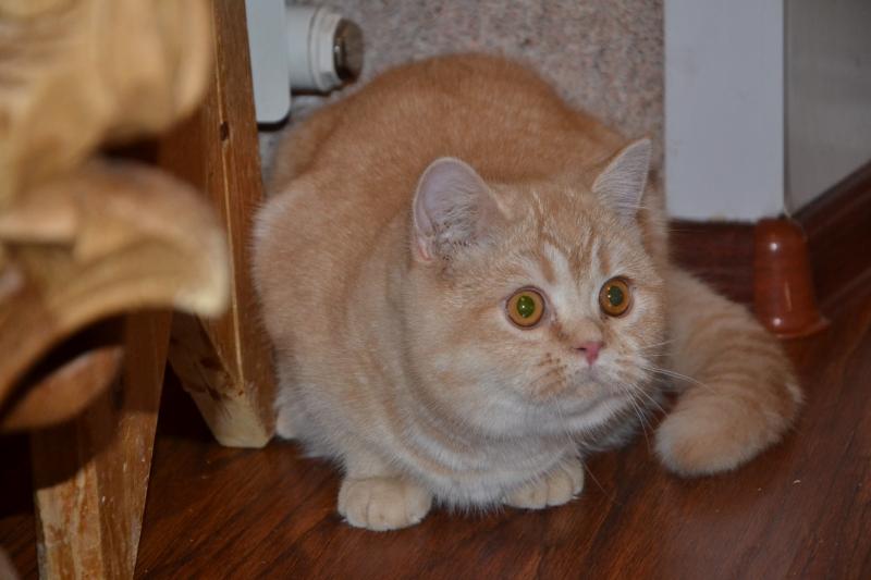 Шотландские котята супер-пупер