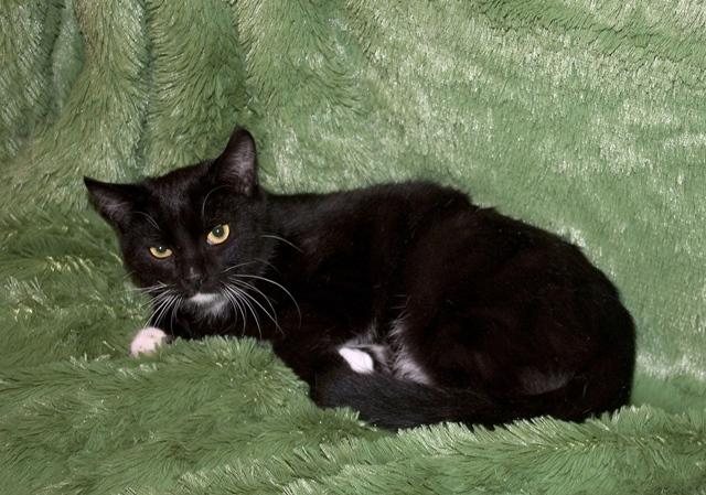 Честер, обаятельный домашний котик-подросток в добрые руки