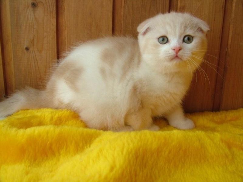 Роскошные котята шотландской породы из питомника для вас