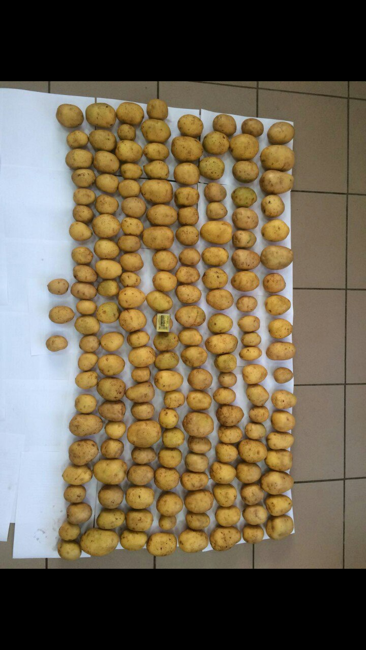 Реализуем картофель сорта Гала в Рязанской области