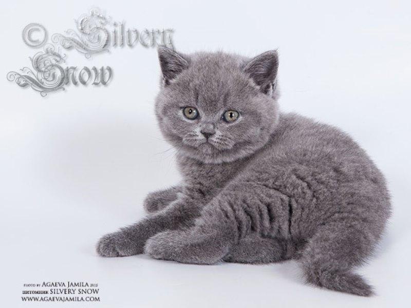 Короткошерстные голубые британские котята.