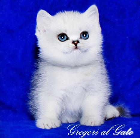Британские котята серебристые шиншиллы с изумрудными глазами