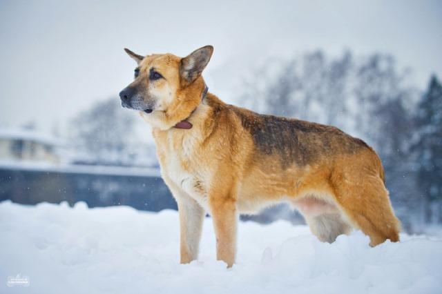 Красавец Рекс, близкий метис немецкой овчарки, самый верный и умный друг в добры
