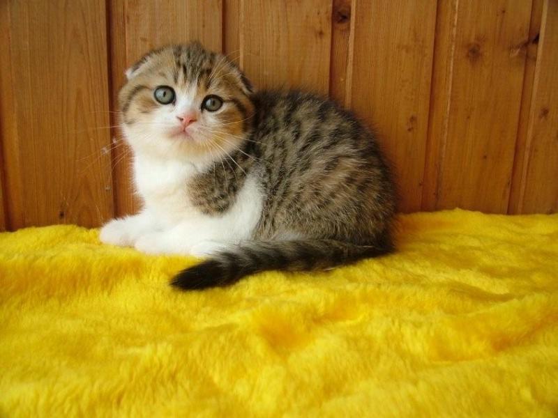 Незаменимые шотландские котята