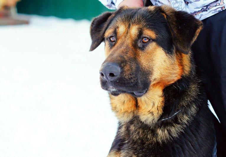 Крупный молодой умный пс Найс ищет дом