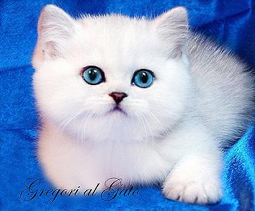 Британские серебристые и золотые котята с изумрудными и синими глазками