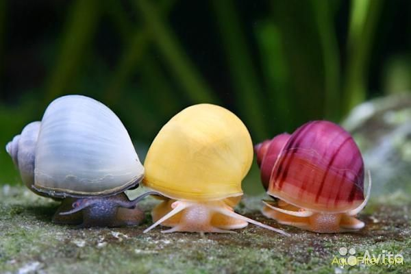 Улитка ампулярия. Разноцветные улитки для аквариума