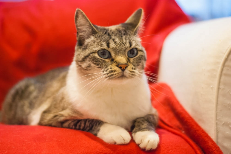 Голубоглазый красавец-кот Леонардо в дар
