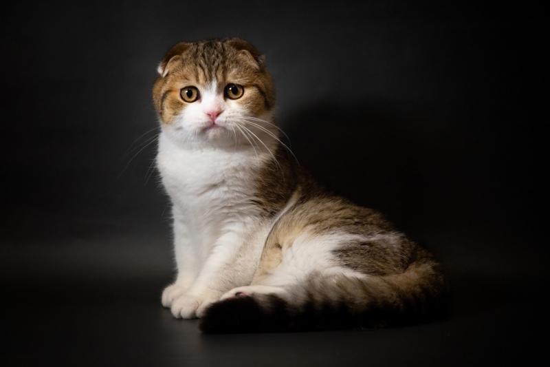 Замечательные  и невероятно красивые котята шотландской породы