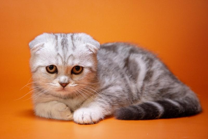 Вислоухие шотландские котята, просто прелесть