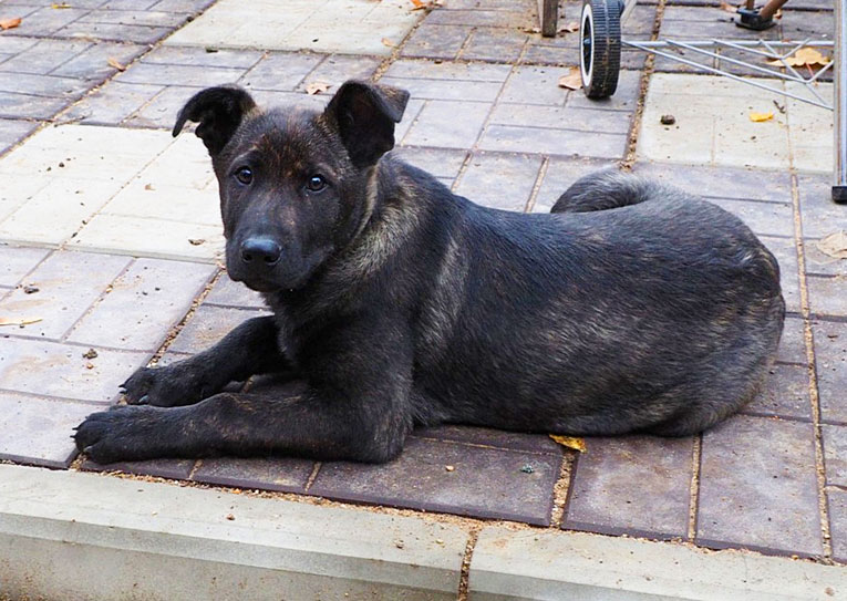 Крупный щенок Чинзан живет один на дачном участке