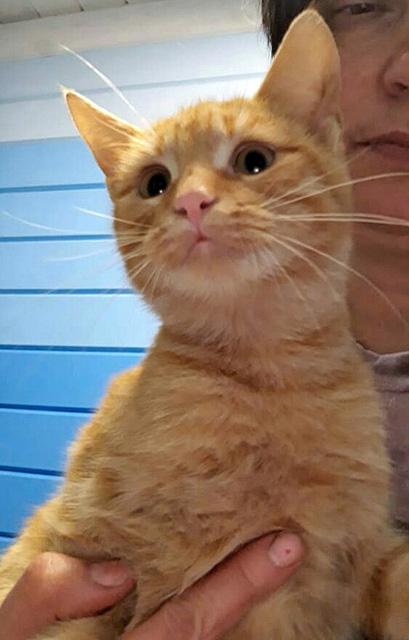 Рыжее солнышко Ксюша, домашняя кошечка-подросток в добрые руки