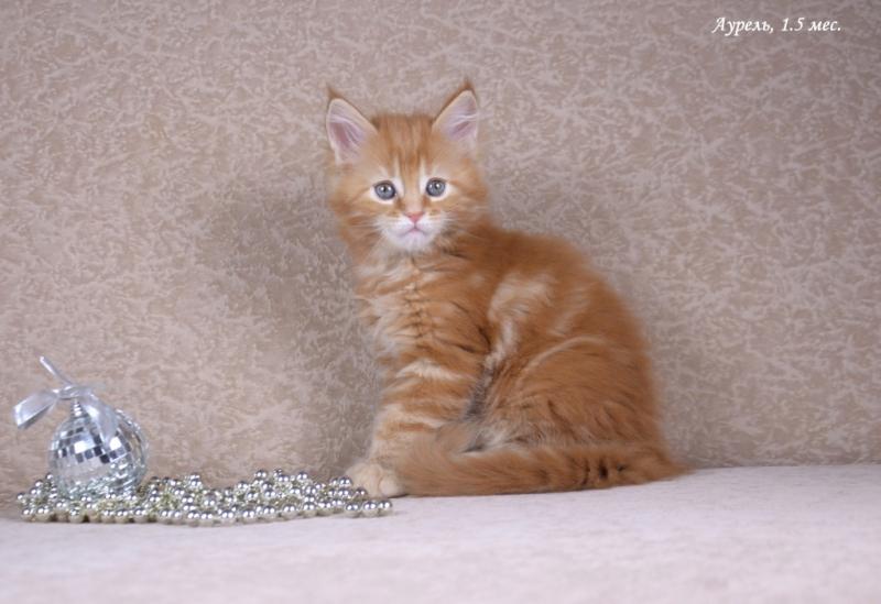 Мейн-кун котята - отличный выбор